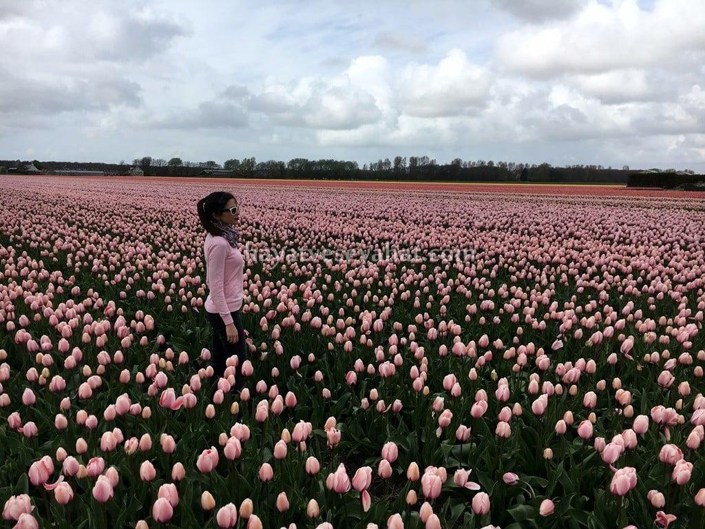 hollanda lale bahçeleri hakkında bilgi